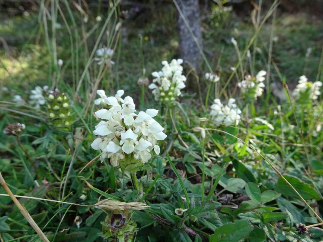 Brunelle blanche.