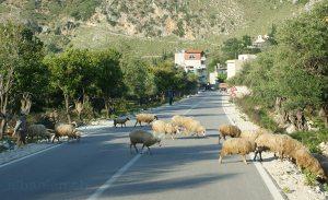Schafe auf Strasse in Südalbanien