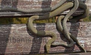 Schlangen Albanien