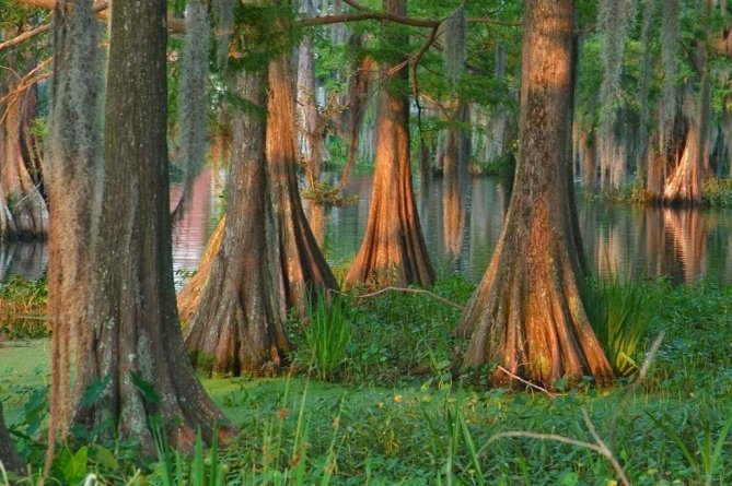 Photo of Cypress Swamp in Louisiana