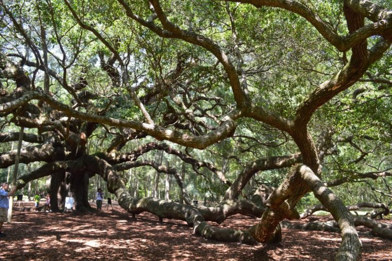 Angel Oak St John's Island SC