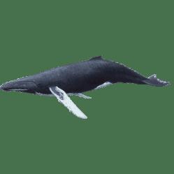 Humpback Whale Alberni Charters