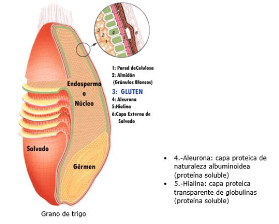 Dibujo Del Grano De Trigo: Anatomia De Un Grano De Trigo