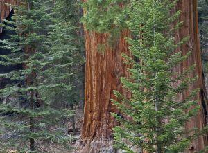 Secuoyas Sequoiadendron giganteum, Secuoya NP