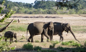 Yala N.P. elephants