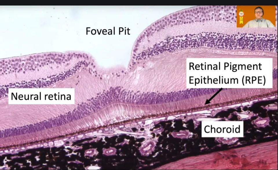 Foveal pit diagram