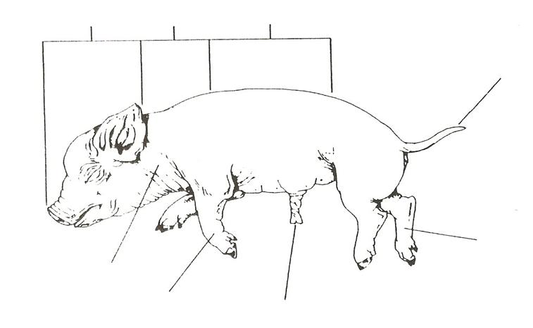 albionapbiology / Fetal Pig Dissection Pre Lab (1)