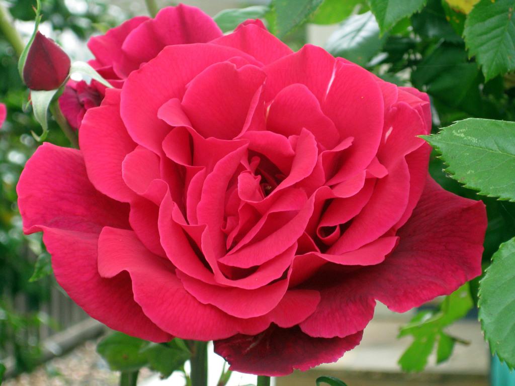 我的藥草花園: 玫瑰 - 光的使者 - udn部落格