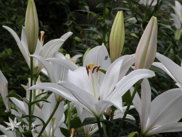 白石湖》百合花盛開 - 趴趴走的竹子 - udn部落格