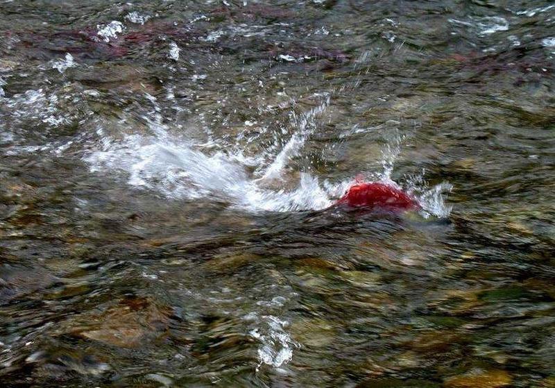 生命的禮贊,永遠的紅鮭魚(上) - 李鳴飛的分享天地 - udn部落格