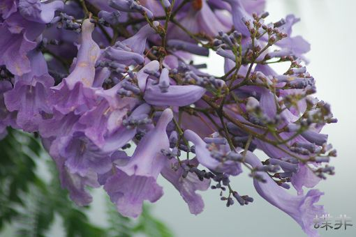 藍花楹-紫給你看 - 蝶飛四季 - udn部落格