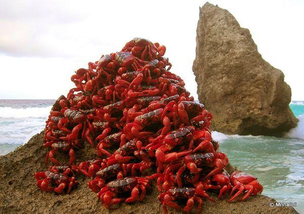 紅螃蟹大遷徙 奇觀…也很噁心! - 無臉男的異想世界 - udn部落格