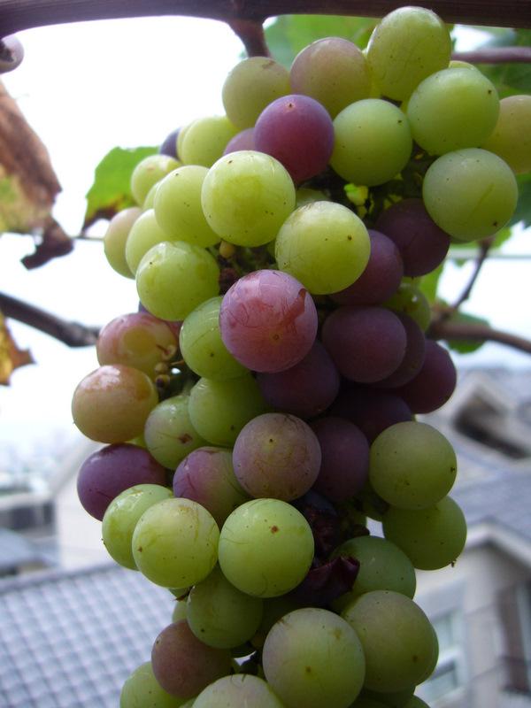 """從葡萄成熟談到釀梅酒 - """"頂樓葡萄園""""一個上班族在自家頂樓種葡萄樹的故事 - udn部落格"""