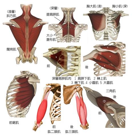 肩帶的動作: