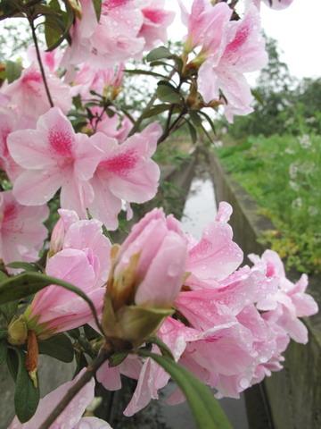 員山水雲山莊的杜鵑花開 - 蘭陽風情--水雲茶坊民宿 - udn部落格