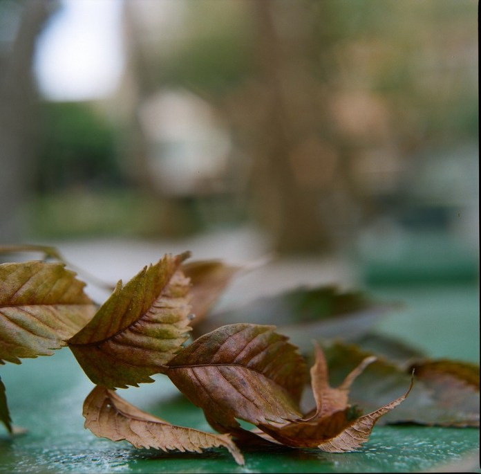 Autumn unfurled - Kodak Portra 400 shot at ISO400