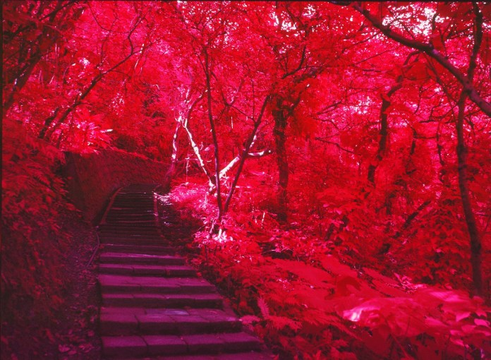 Canopy - Kodak AEROCHROME 1443 - ISO400 - Planar 80/2.8 - Orange #21 filter / 120 as 6x4.5