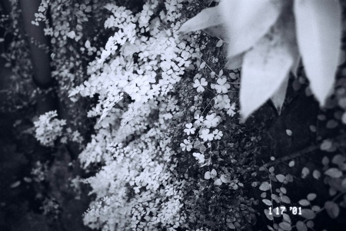 Infra-fern - 2015-07-12 - Rollei 400 Infrared shot at EI 25 with R72 filter. Back and white infrared-sensitive negative film in 35mm format.