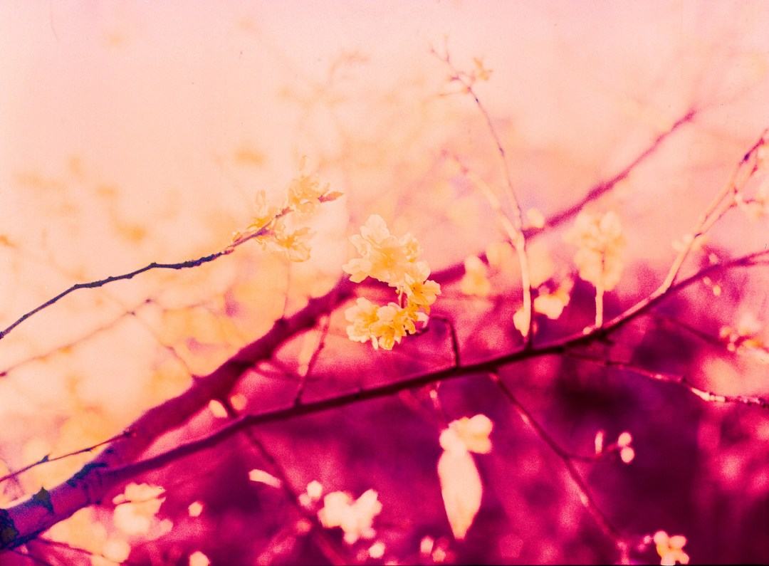Blossom blaze - Shot on Kodak AEROCHROME III Infrared Film 1443 at EI 200. Color infrared aerial surveillance film in 120 format shot as 6x6. Overexposed one stop with #21 orange filter