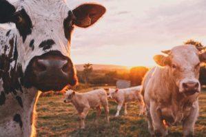 Le lait de vache