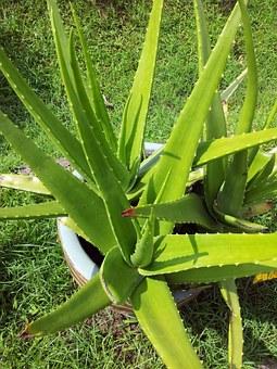 Aloe vera : le super-aliment exotique