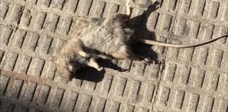 rata-fuenlabrada