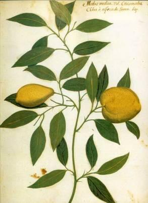 "Dibujo ""citrus medica"" del Atlas de historia Natural regalado por Felipe II al catedrático de ""herbes"", Jaime Honorato Pomar, hacia 1590, Biblioteca de la Universtat de València."