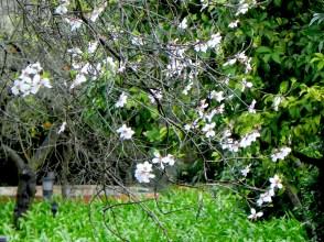 Almendro en flor del Real Alcázar de Sevilla
