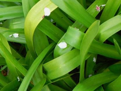 Pétalos de flor de almendro sobre el agapanto
