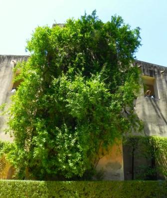 Granado en los jardines del Real Alcázar de Sevilla