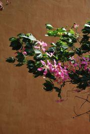 Palo borracho en flor, Alcázar de Sevilla