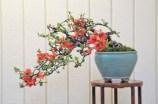 Bonsai en flor de membrillero japonés