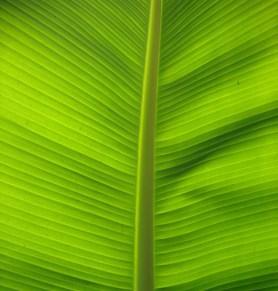 Nervadura vegetal, Musa paradisiaca