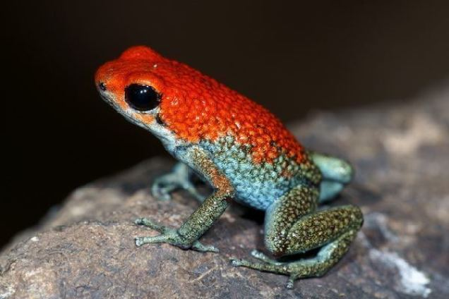 Hasil gambar untuk granular poison katak