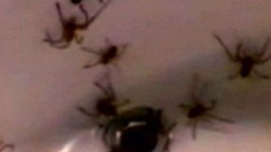 Venomous spiders force family to abandon home