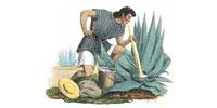 Cборщик сока для пульке, именуемый «тлачикуэро» (tlachiquero)