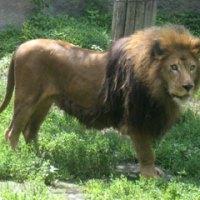 旭山動物園のライラはイケメンライオン!生い立ちや画像もチェック!