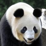 シンシン(パンダ)の子供の名前募集はいつ?性別やプロフィールは?