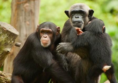 Por primera vez en la historia se otorga recurso de Habeas Corpus a favor de chimpancés