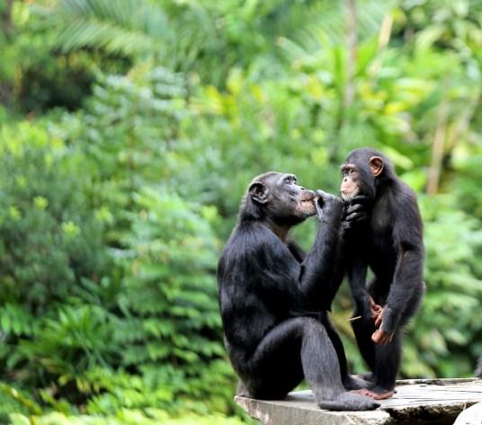 [HOY] Tribunal celebrará argumentación oral sobre habeas corpus a favor de chimpancés