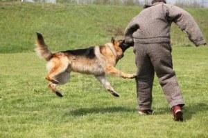 13963219-perro-de-ataque-de-sesiones-de-entrenamiento