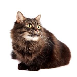 gato mascota