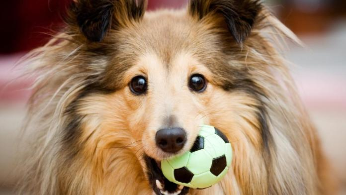Dogs breed prone to stomach issues