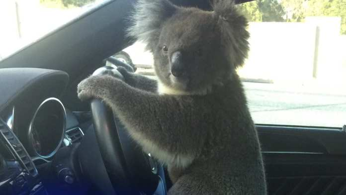 Driver who stopped to help koala causes six-car cash on South Eastern Freeway