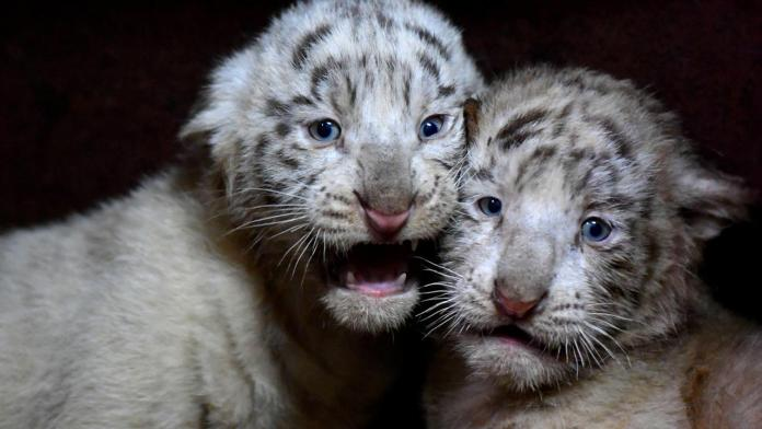 Two rare white tiger cubs in Pakistan zoo die of COVID-19