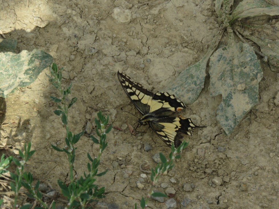 A Pale Yellow and Black Swallowtail Butterful Resting on Dirt and Stone Track