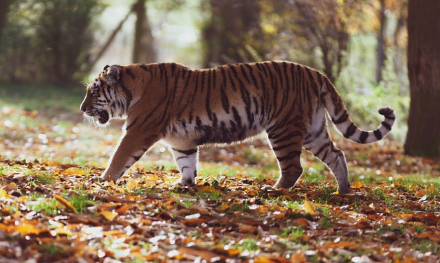 A tiger stalking through the woods for the post tigers die and leave their skin