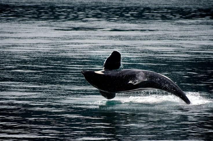 aquatic black and white dolphin fun