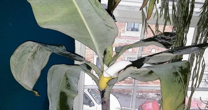 Fruity fumblings with a mini banana header image shows a mini banana vibrator in my banana tree