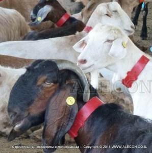 козоводческая ферма - производство козьего молока